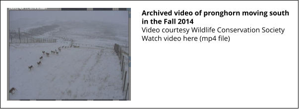 Archived video of pronghorn moving south in the Fall 2014 Video courtesy Wildlife Conservation Society Watch video here (mp4 file)